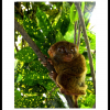 Thumbnail image for A Date with the Philippine Tarsier: One of the World's Smallest Primates